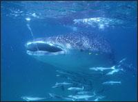 whale-sharks.jpg